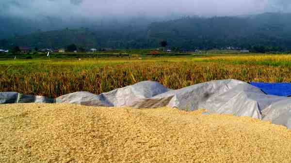unhulled rice after harvesting